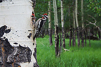 Red-naped Sapsucker, Sphyrapicus nuchalis, male and  female with prey at nesting cavity in aspen tree, Rocky Mountain National Park, Colorado, USA, June 2007