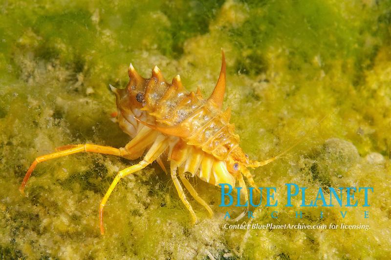 Amphipod (Acanthogammarus victorii), Lake Baikal, Siberia, the Russian Federation, Eurasia