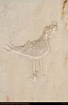 North Wall Road Runner Petroglyph, Petroglyph Trail Chetro Ketl to Pueblo Bonito, Chaco Culture National Historical Park, Chaco Canyon, Nageezi, New Mexico