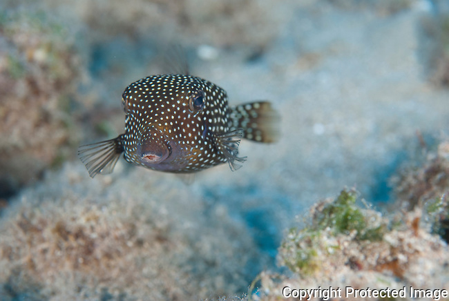 Box fish swimming at Makena landing on the south shore of Maui, Hawaii, 40 feet of water.