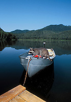 Raccoon explores boat looking for food..Autumn. North America..(Procyon lotor).