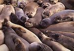 California sea lions ( Zalophus californianus)