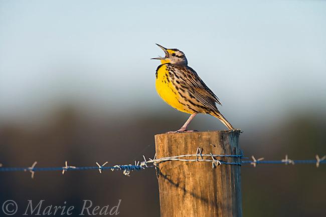 Eastern Meadowlark (Sturnella magna) male singing on a fencepost in spring, Osceola County, Florida, USA