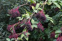 Schwarzer Holunder, Frucht, Früchte, Fliederbeeren, Fliederbeere, Sambucus nigra, Common Elder, Elderberry, fruit, Sureau commun, Sureau noir