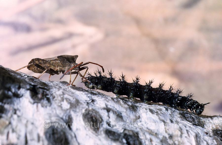 Lederwanze, mit Schmetterlingsraupe als Beute, hat Raupe erbeutet und saugt diese aus, Saumwanze, Leder-Wanze, Saum-Wanze, Coreus marginatus, Mesocerus marginatus, squash bug, Randwanzen, Lederwanzen, Coreidae, leaf-footed bugs