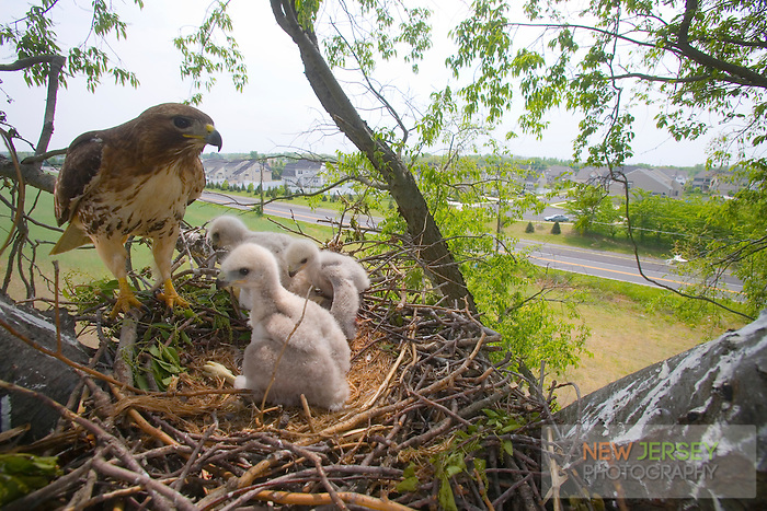 Red-tailed hawk adult and chicks in nest in Lumberton, New Jersey