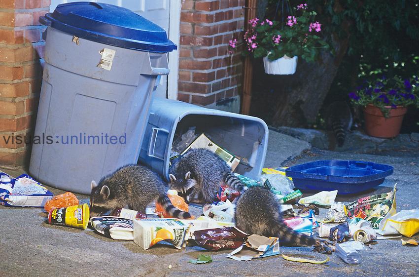 Procyon lotor.Raccoons raiding garbage can....