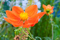 Scarlet flowered Dahlia, Dahlia coccinea var. palmeri in orange red firey color. species dahlia, single type.