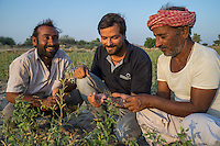 Technoserve's Assistant Project Manager, Piyush Tiwari, discusses plant diseases with guar farmer Bhanwarlal Sharma, 60, and his son, Arjun Sharma, 28, in their agriculture field in Bamanwali village, Bikaner, Rajasthan, India on October 24th, 2016. Non-profit organisation Technoserve works with farmers in Bikaner, providing technical support and training, causing increased yield from implementation of good agricultural practices as well as a switch to using better grains better suited to the given climate. Photograph by Suzanne Lee