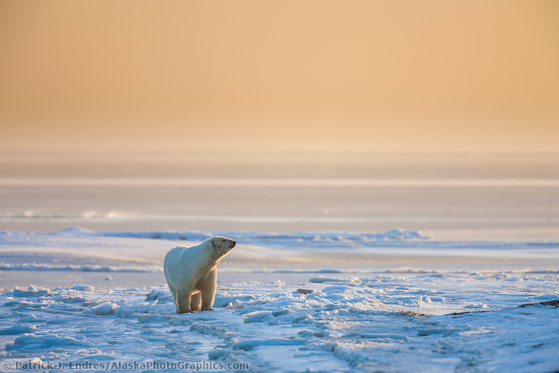 Female polar bear stands on the ice forming along the shore the Beaufort Sea, Arctic, Alaska.