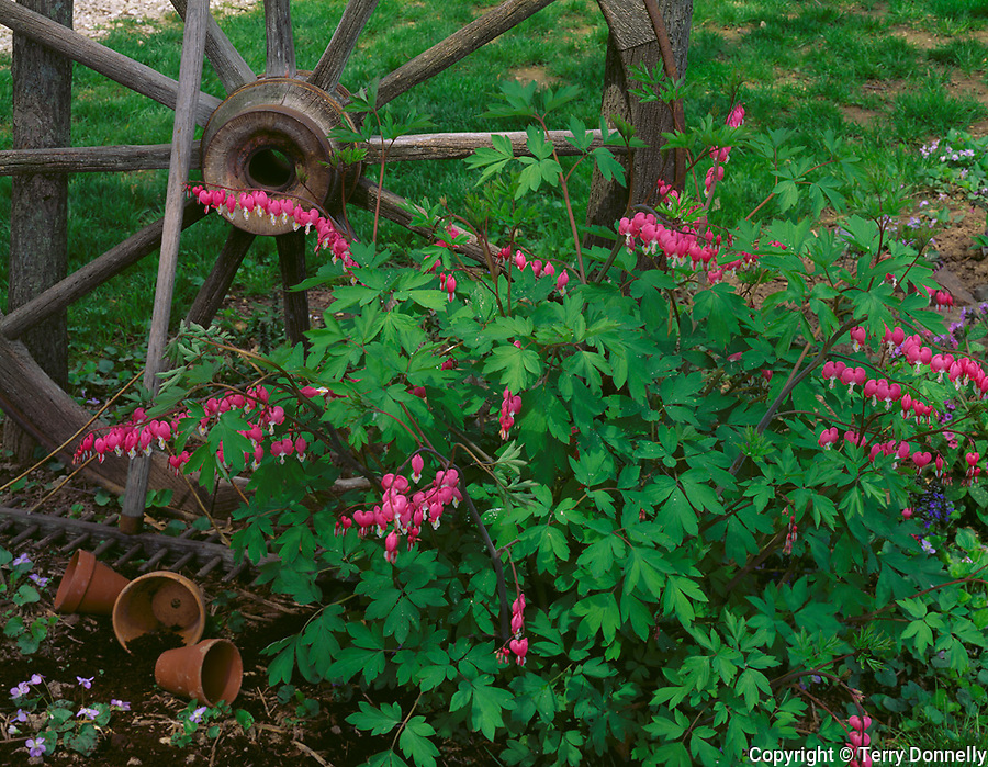 Bureau, County, IL<br /> Flowering bleeding heart and weathered wagon wheel in a rustic garden