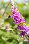 Foxgloves and Bees on the Isle of Wight