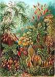 Muscinae (Moss), by Ernst Haeckel, 1904