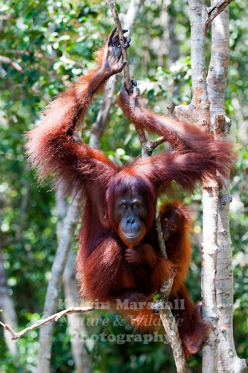 Female Orangutan with Juvenile (Pongo pygmaeus) - Tanjung Puting National Park, Central Kalimantan Indonesia.
