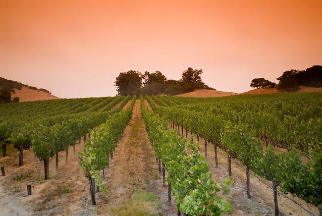 Vineyard in carneros region of Napa Valley