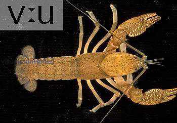 Crayfish ,Procambarus,, North America.