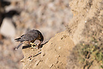La Jolla, California; a juvenile Peregrine Falcon (Falco peregrinus) feeding on the remains of a small bird while perched  on a cliff over the rocky shoreline