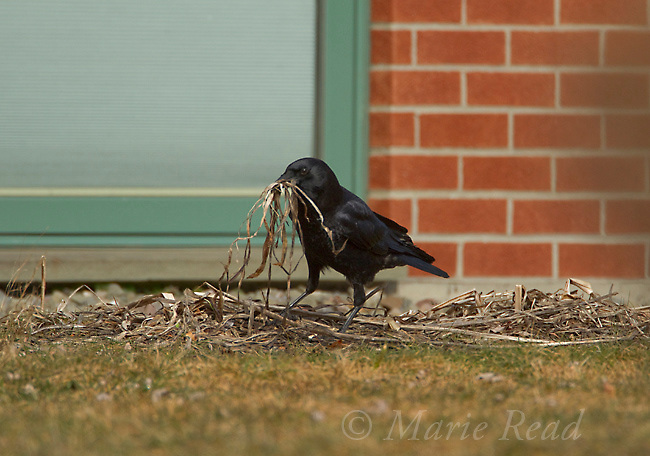 American Crow (Corvus brachyrhynchos) gathering nest material from residential backyard, New York, USA