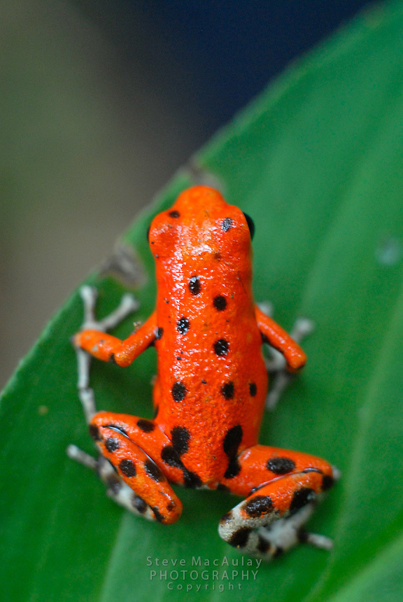 Red Poison Dart Frog, Red Frog Beach, Bocas Del Toro, Panama