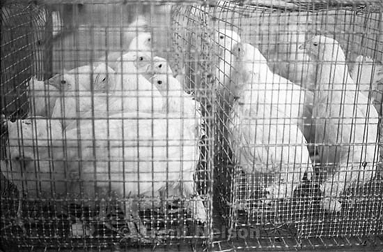 Chickens in cage, during program of Bleeding chickens to test for Encephalitis virus as part of mosquito abatement program.<br />