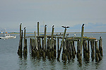 A Weathered wooden pillar supports of an old damage dock services as a       resting place for local   sea birds .