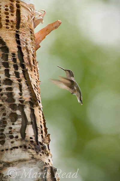 Ruby-throated Hummingbird (Archilochus colubris) female attracted to feed at sap drillings of Yellow-bellied Sapsucker (Sphyrapicus varius), Michigan, USA