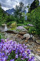 France, Hautes-Alpes (05), Villar-d'Arène, jardin alpin du Lautaret, ruisseau dans la zone des plantes d'Amérique du Nord, premier plan, penstémon du passé (Penstemon davisdonii var. praeteritus)