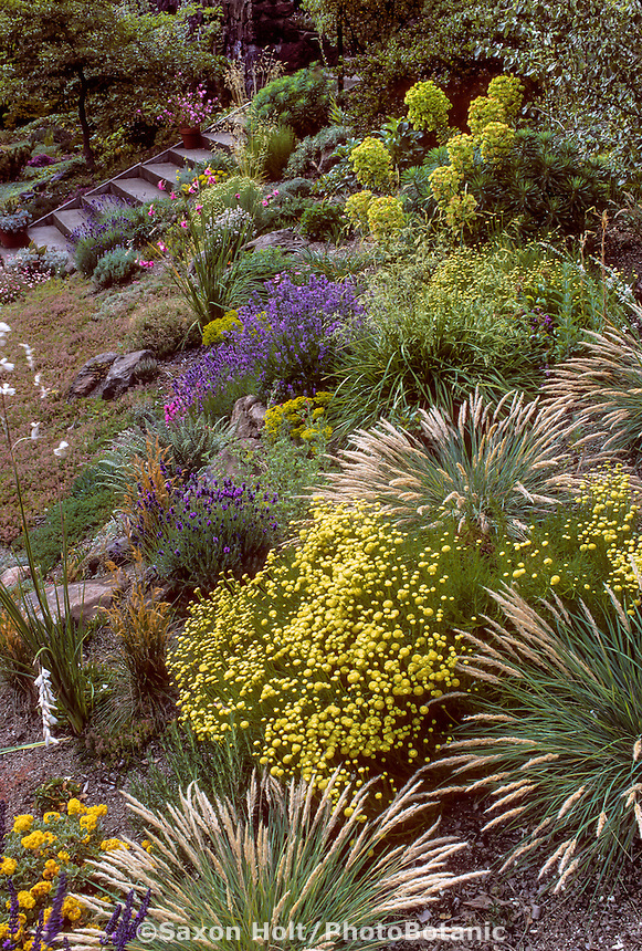 Drought tolerant border on slope with Santolina virens, Lavandula, Creeping Thyme, Calamagrostis foliosa (Leafy Reed Grass).