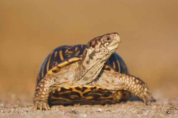 Ornate Box Turtle (Terrapene ornata), male, Sinton, Corpus Christi, Coastal Bend, Texas Coast, USA