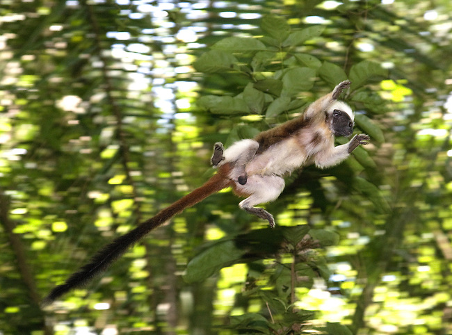 .Wild Cotton-top tamarin (Saguinus oedipus) appears to fly through the air as it jumps from branch to branch in the dry tropical forest of Colombia  (never before photographed)...IUCN List: Critically Endangered..Digital Capture..