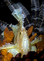 Leaf Scorpionfish, Taenianotus triacanthus, Komodo National Park, Lesser Sunda Islands, Indonesia, Pacific Ocean