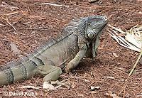0625-1107  Male Green Iguana (Common Iguana), Belize, Iguana iguana  © David Kuhn/Dwight Kuhn Photography