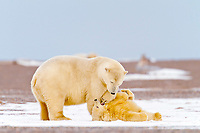 polar bear, Ursus maritimus, mother and cub playing, Barter Island, Arctic National Wildlife Refuge, Alaska, polar bear, Ursus maritimus
