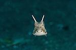 Juvenile Thornback cowfish (Lactoria fornasini)