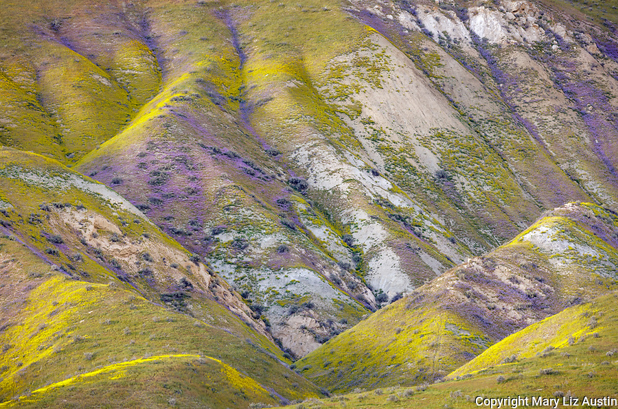 Carrizo Plain National Monument, CA:Folded hills of the Temblor Range covered in purple and golds of wildflowers