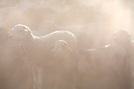 Sheep at a farm near Karibib, engulfed in dust