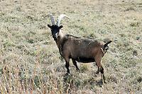 Una stambecco al pascolo nel Parco Nazionale del Gran Paradiso, in Val d'Aosta.<br /> A grazing ibex at the Gran Paradiso National Park, Aosta Valley.<br /> UPDATE IMAGES PRESS/Riccardo De Luca