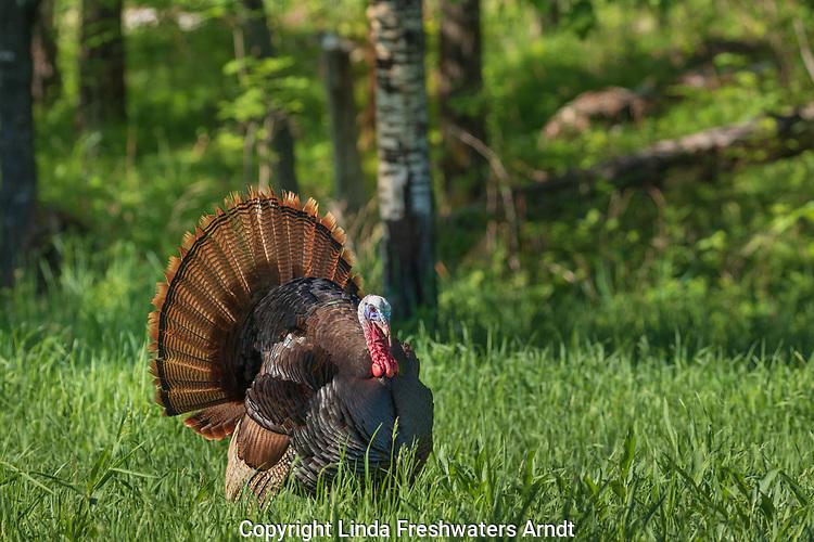Tom turkey strutting in northern Wisconsin.