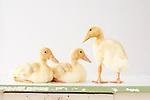 Judi - Ducklings and Goslings