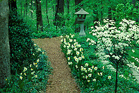Spring dogwood tree, Conus florida, and daffodils bloom along pathway- adorned with Japanese lantern and rock edges, leading to further trails through wooded lot in private yard