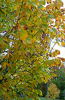 Ulmus americana 'Princeton' American Elm Tree in Autumn Fall Color