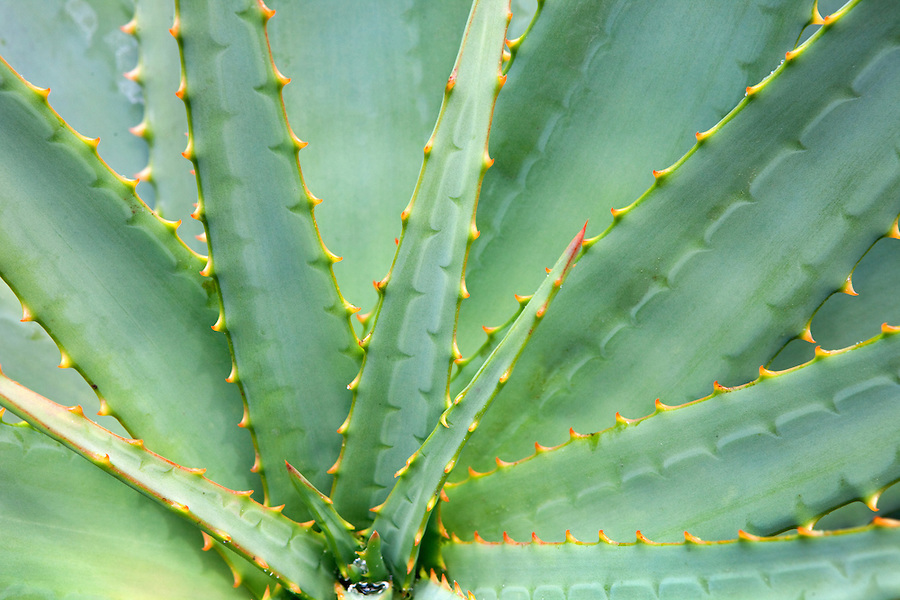 Agave plant, Southern California, CA, USA