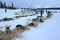 Dogs Parked at Rainy Pass Iditarod 2001