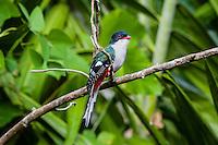 The endemic Cuban Trogon (Priotelus temnurus) is the national bird of Cuba. La Guira National Park, Cuba.