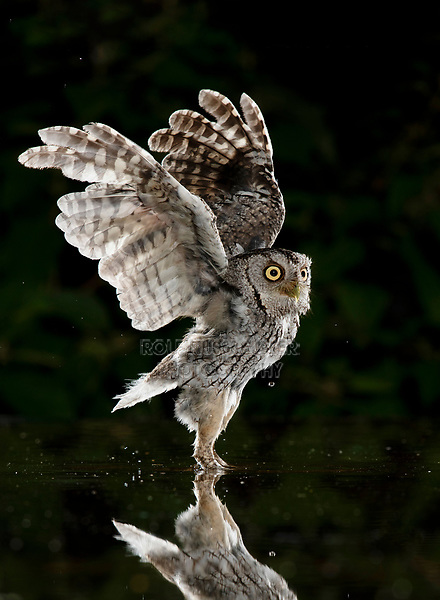 Eastern Screech-Owl, Megascops asio, adult at night taking off , Hill Country, Texas, USA