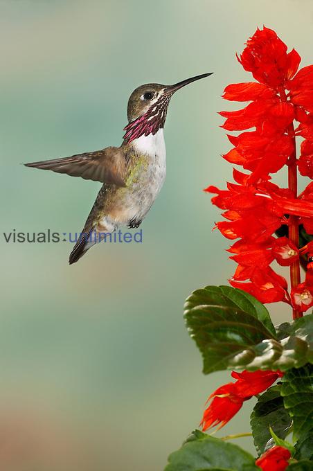 Calliope Hummingbird (Stellula calliope) male flying.
