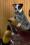 Australian Cattledog in the studio<br />