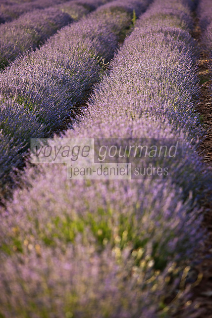 Europe/France/Provence-Alpes-Côte d'Azur/84/Vaucluse/Lubéron/Env de Saignon:  Champ de Lavande
