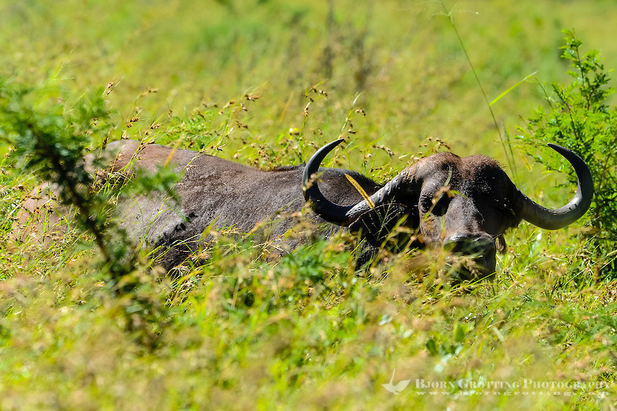 African buffalo in the Hluhluwe-Umfolozi Game Reserve, South Africa.