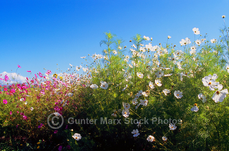 Terra Nova Rural Park, Richmond, BC, British Columbia, Canada - Mixed Flowers in bloom at the Terra Nova Community Garden